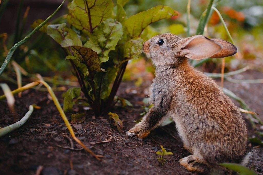 How To Get Rid Of Rabbits In Your Garden Naturally ...